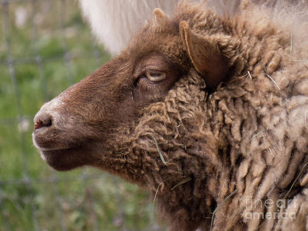Photograph - Sheep Face 5 by Christy Garavetto