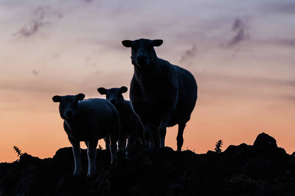 Photograph - Sheep Family by Anjo Ten Kate