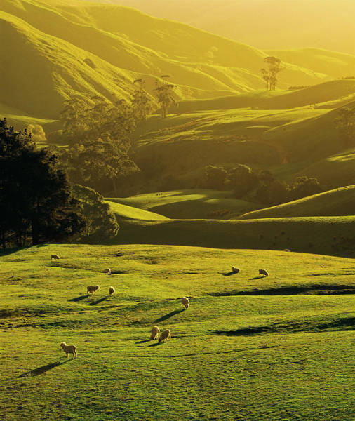 Grazing Photograph - Sheep Grazing At Trida, Strzelecki by Australian Scenics