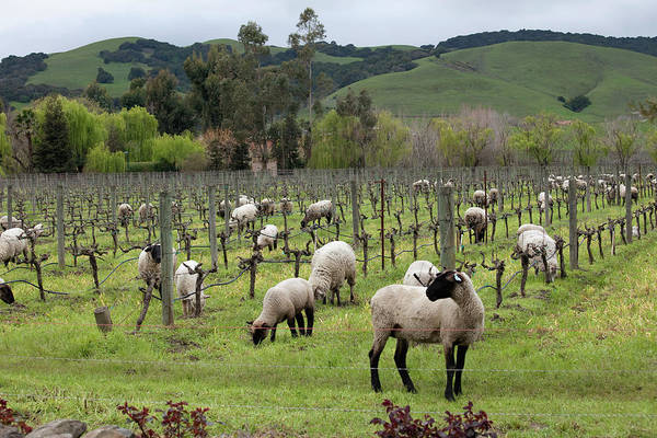 Sonoma County Photograph - Sheep Grazing For Weeds In In Cline by Judy Bellah