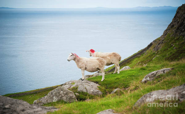 Photograph - Sheep Grazing In A Wild Meadow In Scotland. by Joaquin Corbalan