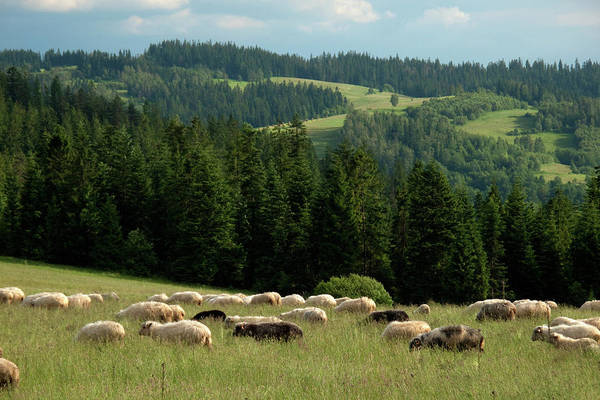 Grazing Photograph - Sheep Grazing In Field, Podhale by Henryk T. Kaiser