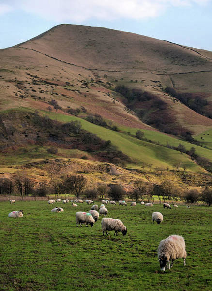 Grazing Photograph - Sheep Grazing In Peak by Michelle Mcmahon