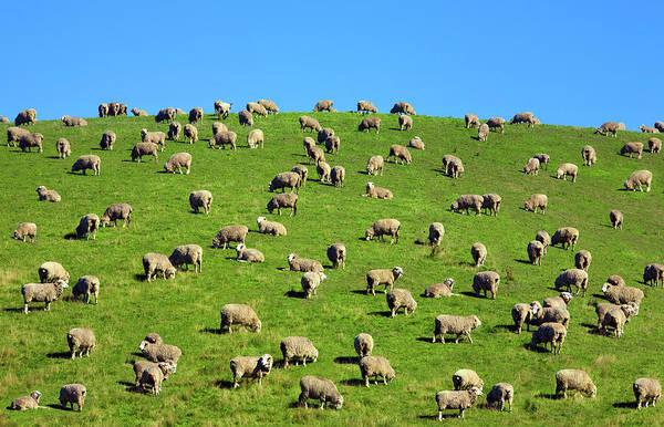 Grazing Photograph - Sheep Grazing On A Green Hill by Scott E Barbour