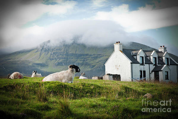 Photograph - Sheep Grazing On A Scottish Farm In Spring. by Joaquin Corbalan
