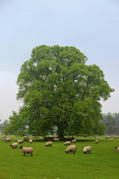 Grazing Photograph - Sheep Grazing On The Grass by Design Pics / John Short