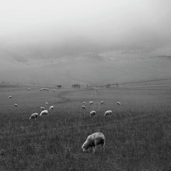 Grazing Photograph - Sheep Grazing by Sonja Rolton