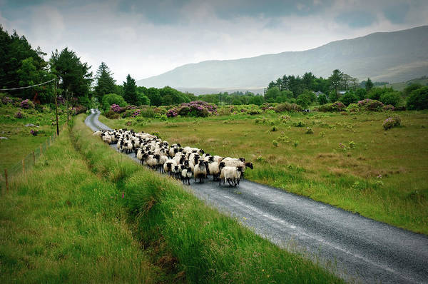 Irish Landscape Photograph - Sheep Herd On The Road by Engamon