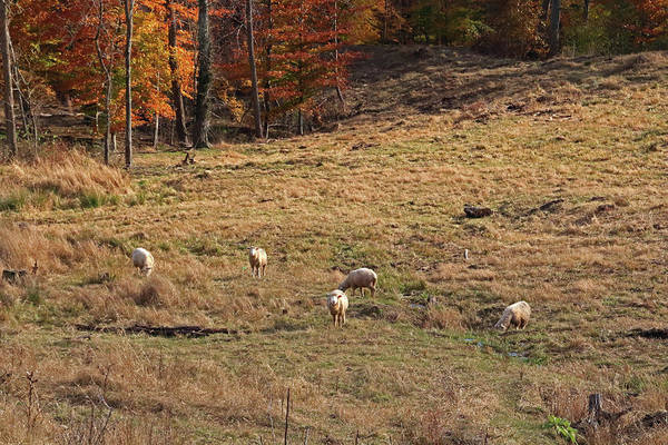 Photograph - Sheep In A Field by Angela Murdock