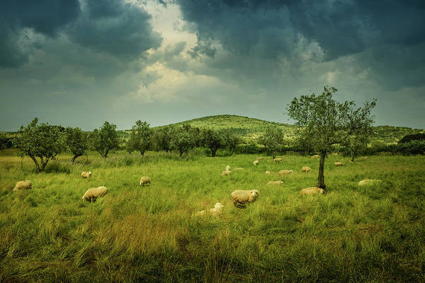 Wall Art - Photograph - Sheep In Countryside by Carlos Caetano