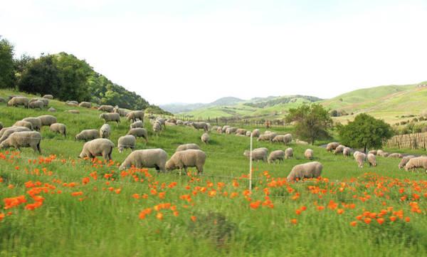 Napa Valley Photograph - Sheep In Napa Valley by Elizabeth W. Kearley
