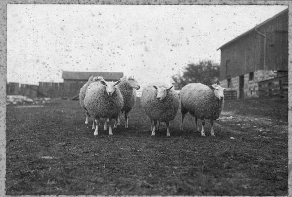 Painting - Sheep In Pasture 1910 by Celestial Images