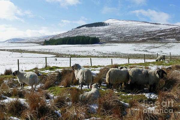Photograph - Sheep In The Glen by Phil Banks