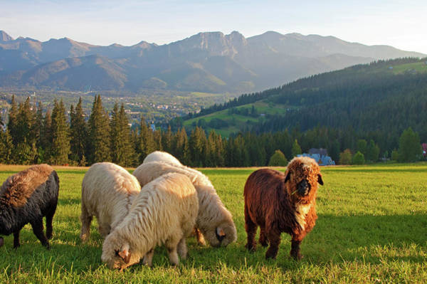 Grazing Photograph - Sheep In The Tatras Mountains by Henryk T. Kaiser