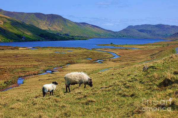 Eire Photograph - Sheep Of Connemara  by Olivier Le Queinec