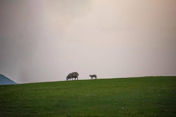 Wall Art - Photograph - Sheep On A Hill - Pitlochery Scotland by Bill Cannon