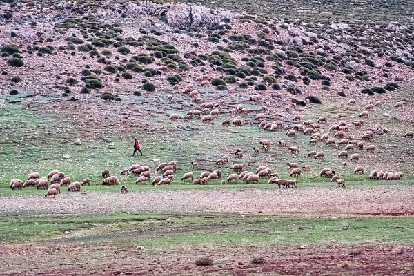 Photograph - Sheep On A Hillside - Morocco by Stuart Litoff