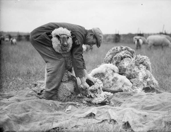 Farm Photograph - Sheep Shearer by Fox Photos