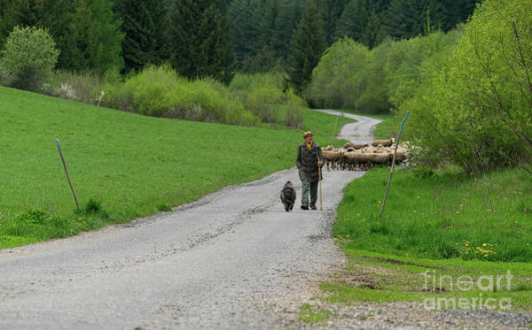 Photograph - Sheep Shepherd With His Dog by Les Palenik