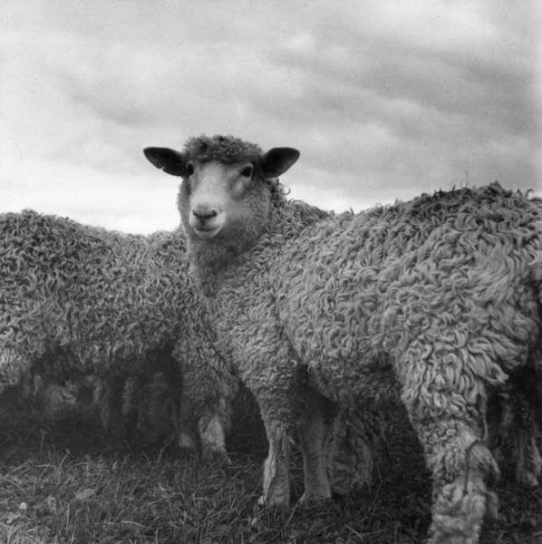 Livestock Photograph - Sheep by W. J. Stirling