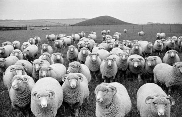 Photograph - Sheeps Eyes by Raymond Kleboe