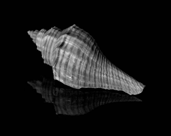 Photograph - Shell Study In Black And White by Cathy Kovarik