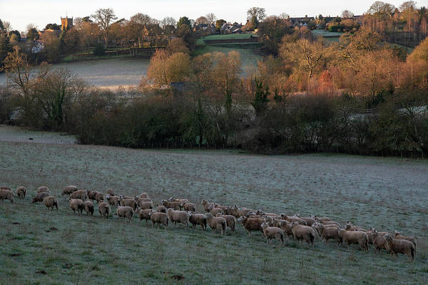Photograph - Shenington And Sheep by Mark Hunter