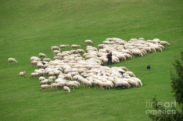 Photograph - Shepherd With Flock Of Sheep And A Herding Dog by Les Palenik