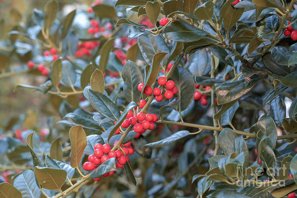 Photograph - Shepherdia Argentea   Evergreen Shrub by Marina Usmanskaya