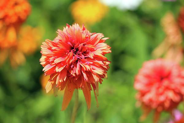 Photograph - Sherbet Colored Dahlia by Cynthia Guinn