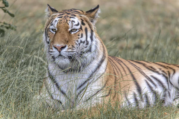 Photograph - Shere Khan by James Kenning