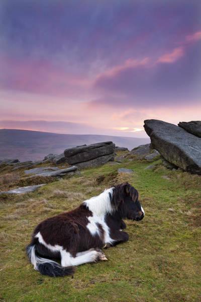 Resting Photograph - Shetland Pony Resting On Dartmoor by Adam Burton / Robertharding