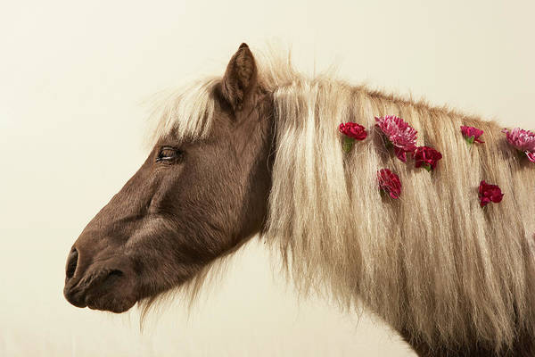 Animal Head Photograph - Shetland Pony With Flowers In Mane by Thomas Northcut