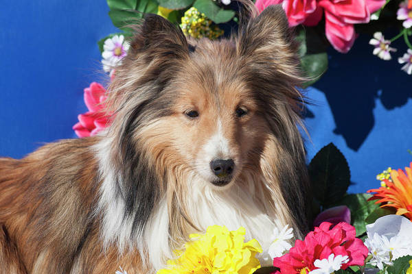 Wall Art - Photograph - Shetland Sheepdog In Flowers by Zandria Muench Beraldo