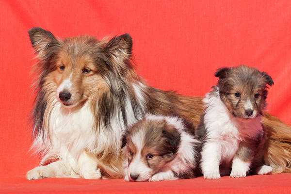 Wall Art - Photograph - Shetland Sheepdog Mother And Puppies by Zandria Muench Beraldo