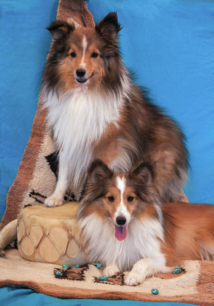 Wall Art - Photograph - Shetland Sheepdogs Posing by Zandria Muench Beraldo