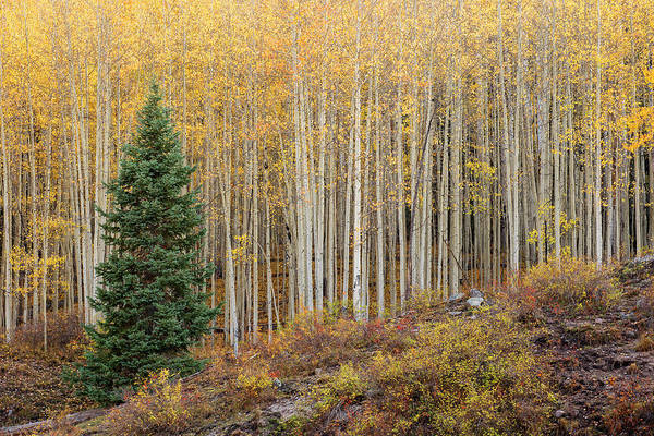 Photograph - Shimmering Aspens by Angela Moyer