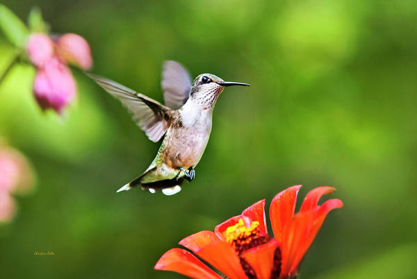 Beautiful Hummingbird Photograph - Shimmering Breeze Hummingbird by Christina Rollo