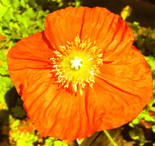 Wall Art - Photograph - Shimmering California Poppy by Christina Ford