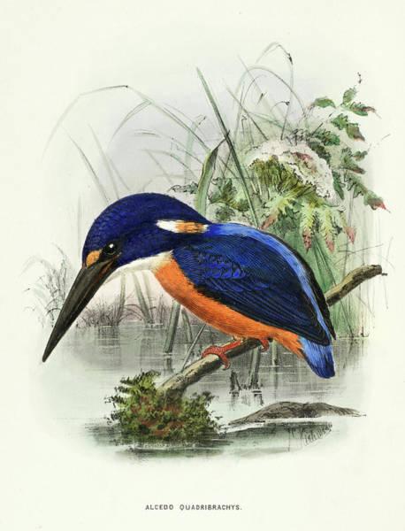 Shining Painting - Shining-blue Kingfisher by Richard Bowdler Sharpe