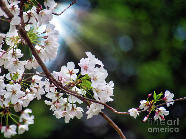 Photograph - Shining Spring Blossoms by Amy Dundon