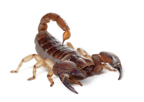 Belgium Photograph - Shiny Burrowing Scorpion - by Life On White