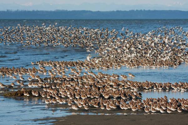 Wall Art - Photograph - Shorebirds, Migration Stop-over by Ken Archer