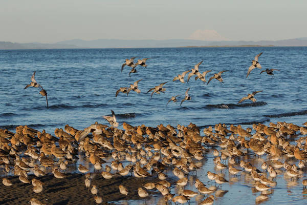 Wall Art - Photograph - Shorebirds, Spring Migration Stop by Ken Archer