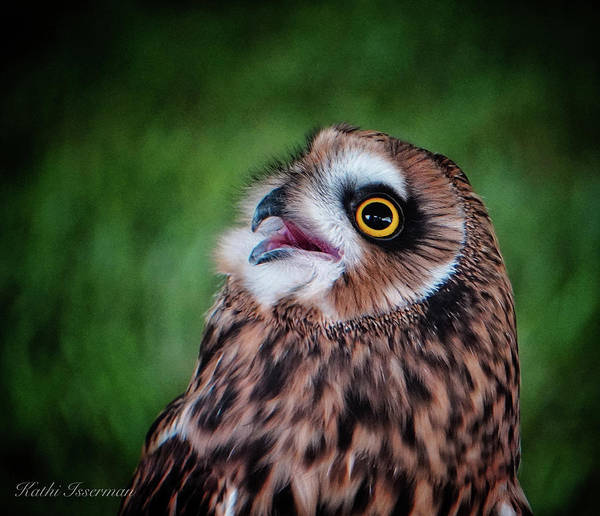 Wall Art - Photograph - Short-ear Owl by Kathi Isserman