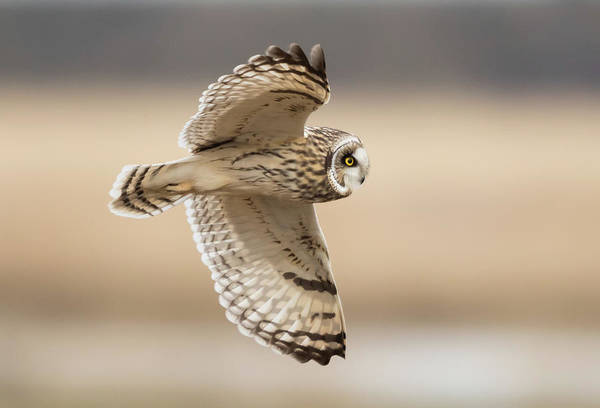 Wall Art - Photograph - Short-eared Owl Flight by Angie Vogel