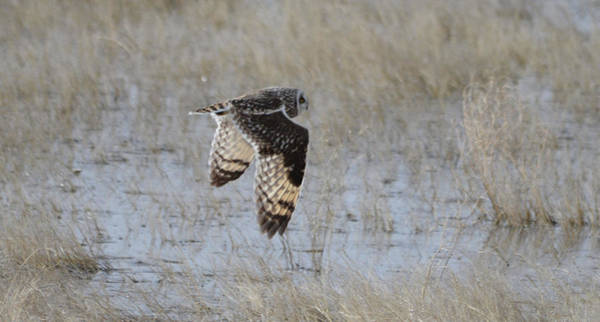 Wall Art - Photograph - Short Eared Owl In Flight by Whispering Peaks Photography