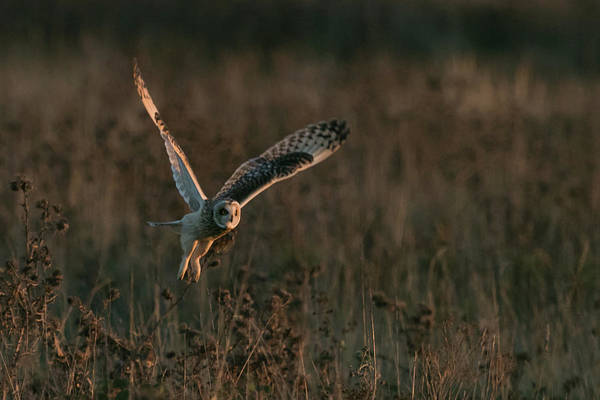 Photograph - Short Eared Owl Liftoff by Wendy Cooper