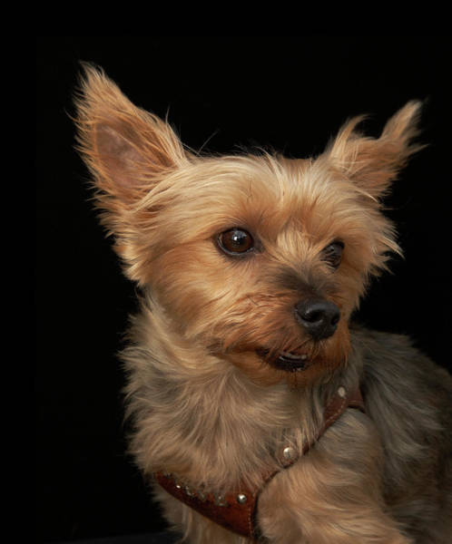 Lap Dog Photograph - Short Haired Yorkie Dog Looking To The by M Photo