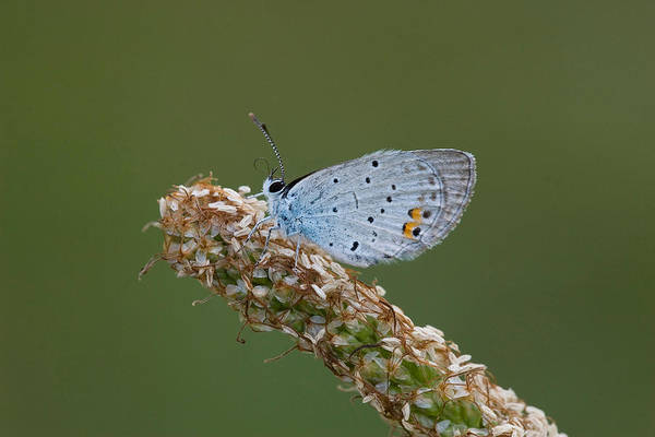 Wall Art - Photograph - Short-tailed Blue Butterfly by David Hosking